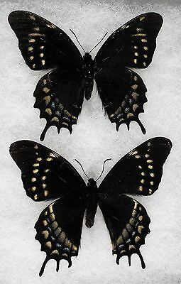 Insect/Butterfly/ Papililo ssp. - 2 Male Forms 4""