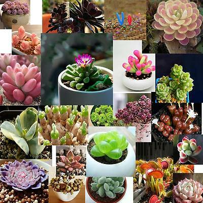 Succulents Seeds 60Seeds 1bag Rare Succulent Potted Plant Home Decorative GN