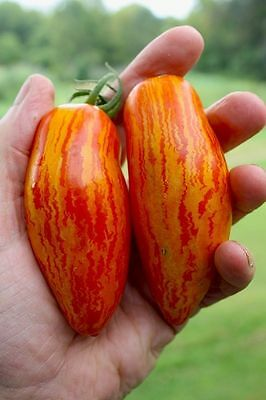 Tomato Seeds Sweet touch Heirloom Seeds from Ukraine