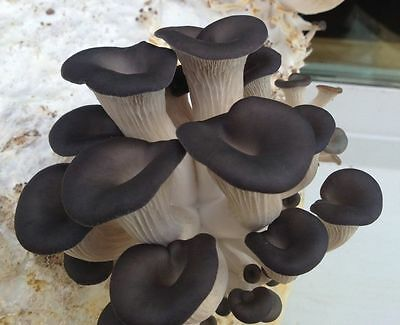 Pleurotus ostreatus Oyster black Chines Mushroom / Mycelium Spores Spawn Dried