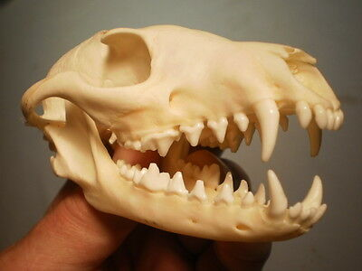 Taxidermy SKULL grey fox very clean nice 5 1/4   inches  great teeth
