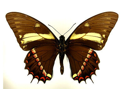 Taxidermy - real papered insects : Papilionidae : Pterourus menatius ctesiades