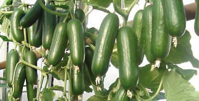 Cucumber Seeds  Tomash F1 Vegetable seeds Early