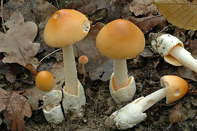 Amanita crocea (Saffron float) Mushroom / Mycelium Spores Spawn Dried Seeds