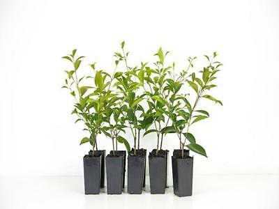 10-100 Plants|Acmena Smithii | Common Lilly Pilly | Hedge Screen| Grows 4-5m
