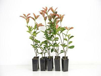 10-100 Plants|Photinia glabra Rubens-BLOCK OUT NEIGHBOURS-Hedge|Grows 4m tall