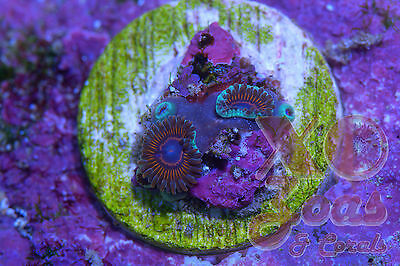 XO Blue Mouthed Time Machine Micro Zoas Zoanthids 2 Polyp Soft Coral Frag