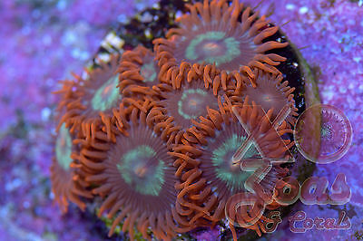 Firestorm Zoas Zoanthids 7 Polyp Small Colony Soft Coral Frag High End