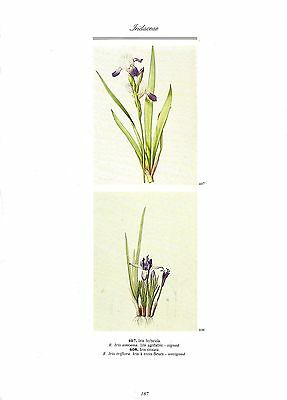 "1986 Vintage REDOUTE FLOWER /""GERMAN FLAG IRIS GERMANICA/"" COLOR Art Lithograph"