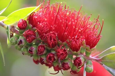 Callistemon rigidus 'Bottle Brush' x 200 seeds