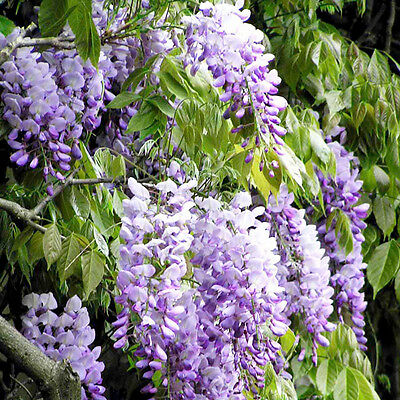 1L Pot Wisteria Sinensis - Fast Growing Highly Scented Flowering Garden Climber