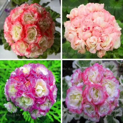 50pcs  Geranium Seeds Apple blossom Rosebud Pelargonium Perennial Flower Seeds H
