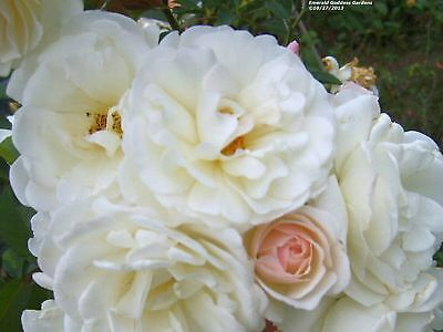 PROM QUEEN Old Garden Antique Own Root Climbing Rose Double White Repeat Bloomer