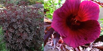 Hibiscus Red Shield Seeds - Sophisticated Plant, Easy to Grow,