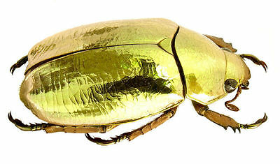 Taxidermy - real papered insects : Rutelidae : Chrysina resplendens