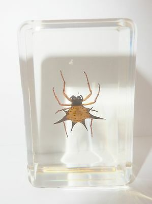 Spiny Spider Gasteracantha kuhlii in Small paperweight Education Insect Specimen
