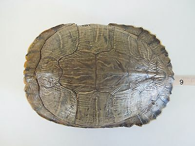 "Real Turtle Shell - Red Eared Slider Turtle 8"" Long"