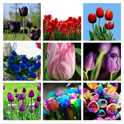 Rare Perennials Rainbow Flower Tulip Bulbs Seeds Spring Bloom Home Yards Garden