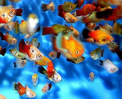 TROPICAL BARGAIN PACKS **Save £££'s!!** Live Tropical Fish Guppy Platy Neons