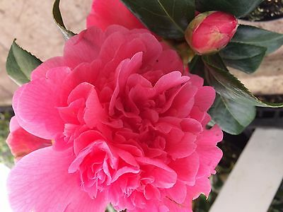 3 x Camellia - SPECIAL OFFER Red,Pink and White in 9cm pots