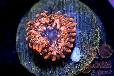 Utter Chaos Palythoa Zoas Zoanthids 1 Polyp Soft Coral Frag High End