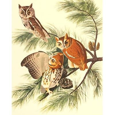 Quality Vintage Reproduction Audubon Print Birds of America Folio Screech Owl