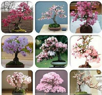 20 fresh Seeds Oriental Cherry Sakura Bonsai  tree  mix  Cherry Blossom Flower
