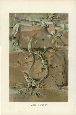 Wall Lizards Reptile c.1900 Color Natural History vintage print