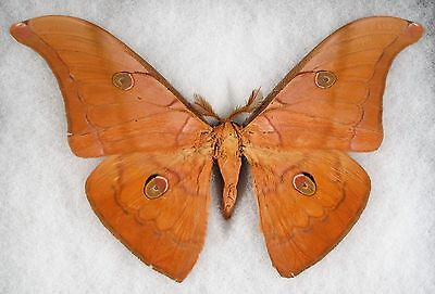 "Insect/Moth/ Antheraea halconensis - Male 6.5"" Type II"