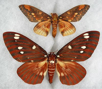 Insect/Moth/ Citheronia splendens ssp. - Pair 5""