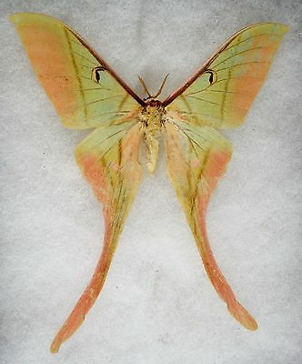 Insect/Moth/ Actias rhodopneuma - Male 4""