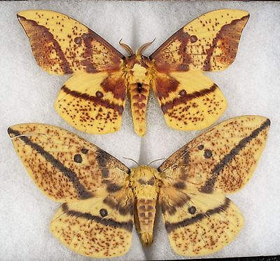 "Insect/Moth/ Eacles imperialis oslari - Pair 5"" Type II"