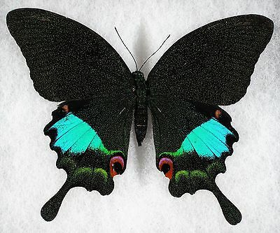 Insect/Butterfly/ Papilio karna - Female 4.5""
