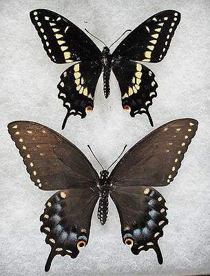 Insect/Butterfly/ Papilio polyxenes polyxenes - Pair 3.5""