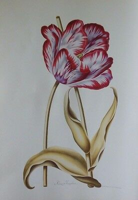 Antiquarian Classic Botanical Style Print of a Tulip