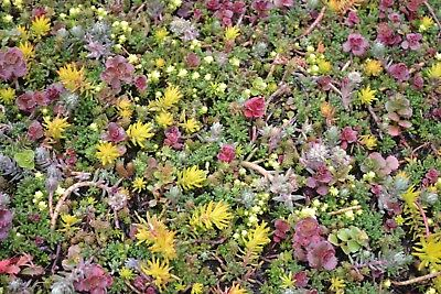 Fairy Garden Seeds Sedum Species Mixed x 100 seeds