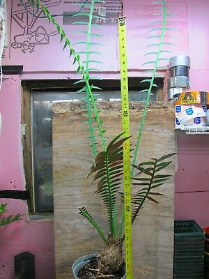 Dioon spinulosum!  Very nice Cycad! Gorgeous!  GIANT!