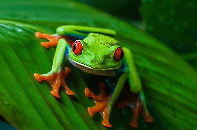 Live Red-Eye Tree Frog