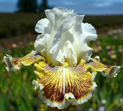 "TALL BEARDED IRIS GERMANICA ""SPRING MADNESS"" Iris Rhizome Available for Delivery"
