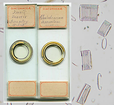 Diatoms by W. White, Microscope Slides