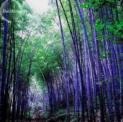 Pack of 28 fresh seeds  Heirloom Rare Purple Giant Bamboo garden plant