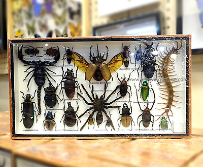 Real Insect Collection Spider Scorpion Bug Cicad Centipede Taxidermy Wood Frame