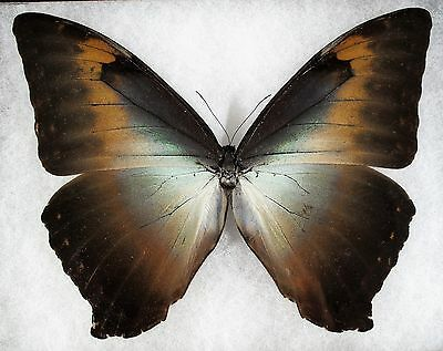 """Insect/Butterfly/ Morpho ssp. - Male 6 1/8"""""""