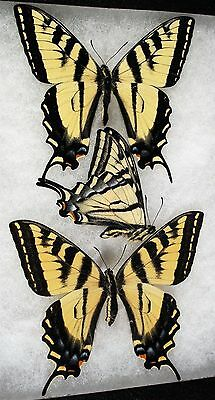 """Insect/Butterfly/ Papilio rutulus - 2 Males 1 Female 4"""""""