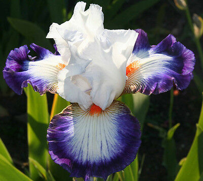 """TALL BEARDED IRIS GERMANICA """"CERCLE BLEU"""" Delivery August 2017"""