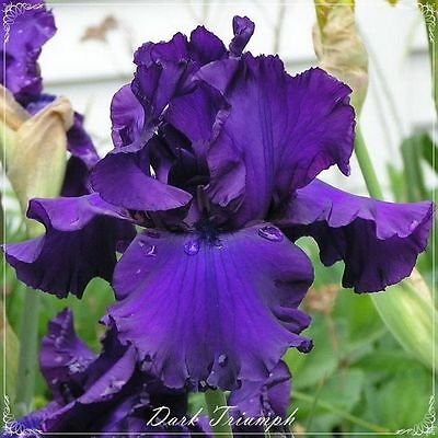 "TALL BEARDED IRIS GERMANICA Rhizome ""DARK TRIUMPH"" Available for Delivery!"