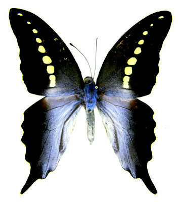 Taxidermy - real papered insects : Papilionidae : Graphium codrus codrus