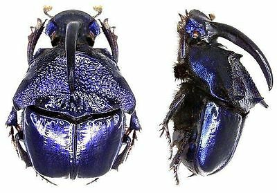 Taxidermy - real papered insects : Scarabaeidae : Phanaeus quadridens pair