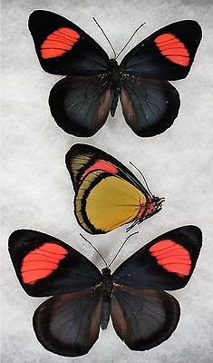 """Insect/Butterfly/ Batecia hypochlora - Pair 3 3/4"""""""