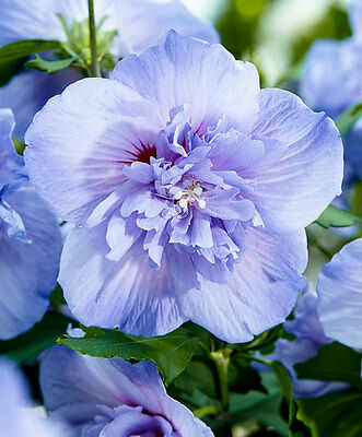 Blue Chiffon Rose of Sharon 5 Perennial RARE FLOWER SEEDS Ready to Plant Now